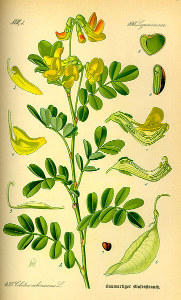 Dataja:Illustration Colutea arborescens0.jpg