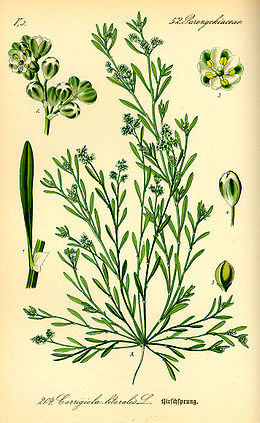 Illustration Corrigiola litoralis0