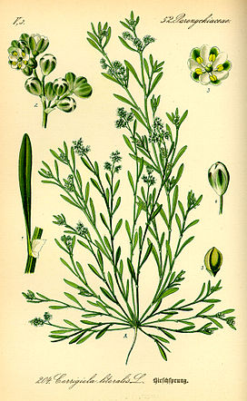 Illustration Corrigiola litoralis0.jpg