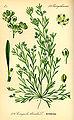 Illustration Corrigiola litoralis0.jpg