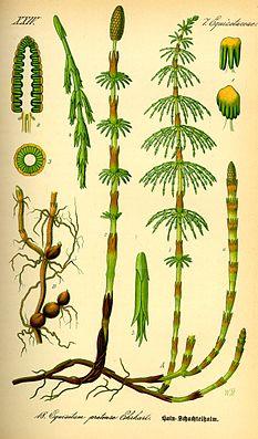 Wiesen-Schachtelhalm (Equisetum pratense)