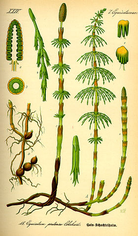 Illustration Equisetum pratense0.jpg