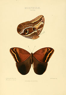Illustrations of new species of exotic butterflies Pavonia I.jpg