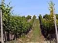 In the wineyards - panoramio.jpg