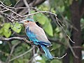 Indian Roller perched on a tree.jpg