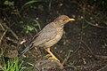 Indian blackbird -female.jpg