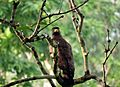 Indian spotted eagle - Mudumalai tiger reserve.jpg