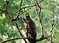 Indian spotted eagle - Mudumalai tiger reserve.jpg