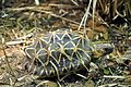 Indian star tortoise - Houston Zoo.jpg