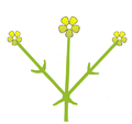 Inflorescence morphology simple dichasium.png