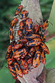 Insects on Milkweed (Asclepias sp.) - Guelph, Ontario 01.jpg