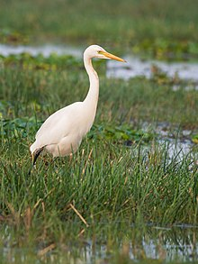 Intermediate Egret (19400939253).jpg