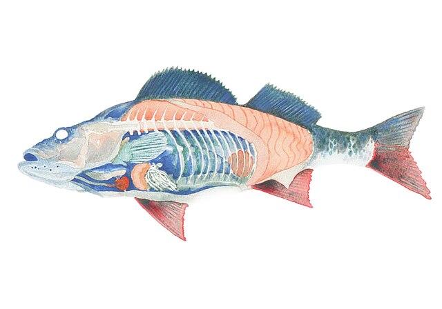 file:internal anatomy of a fish (cutaway diagram) jpg