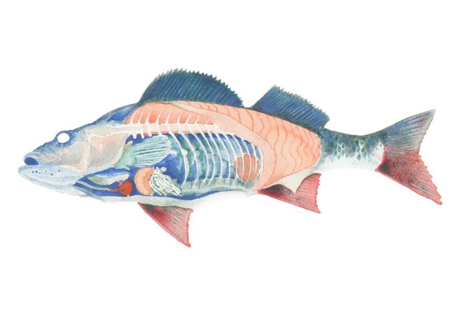Internal anatomy of a fish (cutaway diagram)