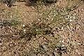 Ipomopsis longiflora - Flickr - aspidoscelis (1).jpg
