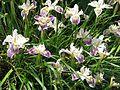 Iris Californian hybrid - Flickr - peganum.jpg