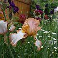Iris Flower in Full Bloom 02.jpg