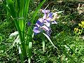 Iris de Louisiane.JPG