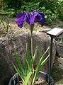 Iris ensata var ensata1.jpg