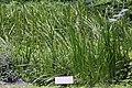 Iris pseudacorus, Hangzhou Botanical Garden 2018.06.03 15-34-51.jpg