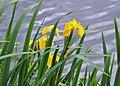 Iris pseudacorus R04.jpg