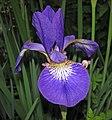 Iris virginica (Virginia iris) (Newark, Ohio, USA) 9 (27196041124).jpg