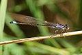 Ischnura elegans - Niederösterreich 2.jpg