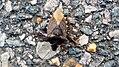 Iz - Pentatoma rufipes - 1.jpg