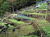 Izu city, Yugashima, Wasabi fields 20111002 A.jpg