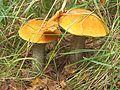 JDX-Leccinum aurantiacum 2.jpg