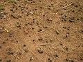 Jaboticabas - panoramio.jpg