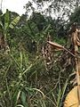 Jachère de Ekoum.jpg