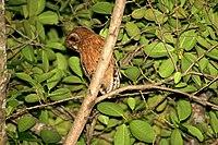Jamaican Owl 2506951138