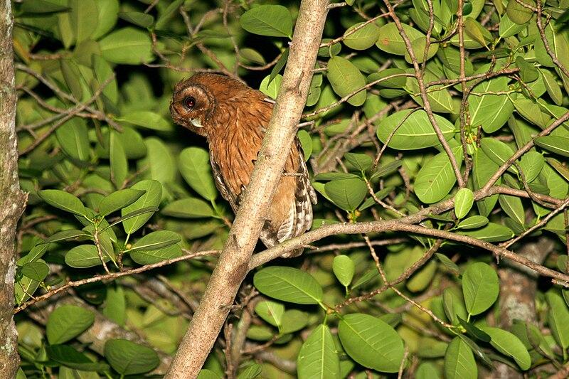 Ficheiro:Jamaican Owl 2506951138.jpg