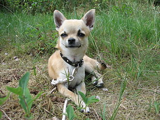 Toy dog - The Chihuahua.
