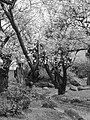 Japanese Cherry Blossom -桜- (3430417533).jpg