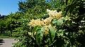 Japanese Tree Lilac (35095976436).jpg