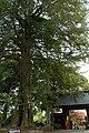 Japanese nutmeg in Zenyōmitsu-ji 201504 02.jpg