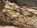 Jaszczurka zwinka wiosną.JPG