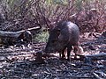 Javelina with piglets (6659380637).jpg