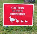 JerseyByWP Ducks crossing Brunswyk (2013).JPG
