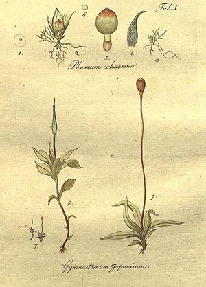 "Johann Hedwig - Plate 1 ""Species Muscorum Frondosorum"""