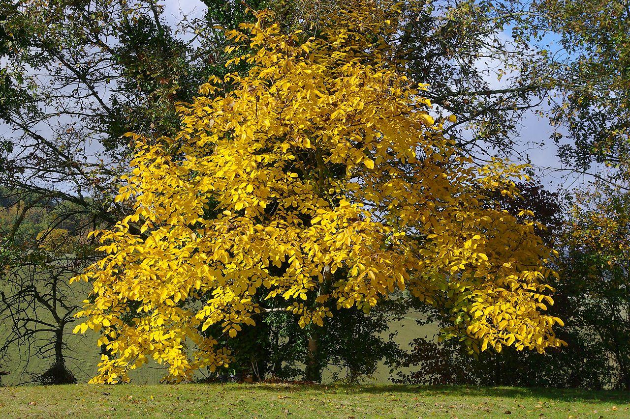 Nogal (Juglans regia), en otoño.