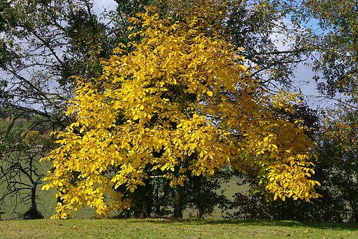 Juglans regia autumn 2009