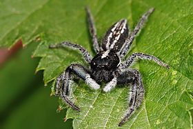 Jumping spider nov07.jpg