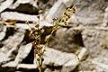 Juncus ensifolius - Flickr - aspidoscelis (2).jpg