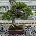 Juniperus chinensis-IMG 6100.jpg