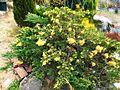 Juniperus chinensis 'Expamsa Variegata'.jpg