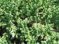 Juniperus chinensis sargentii 1zz.jpg