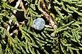 Juniperus maritima 3214.JPG